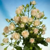Роза кустовая Jana (Яна) 60 см