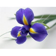 Ирис цветок оптом