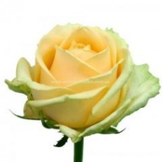 Роза Peach Avalanche 50cm