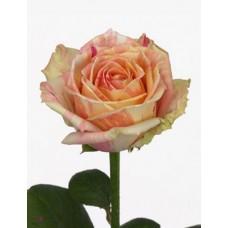 Роза Fiesta 50cm