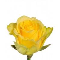 Роза Ilios 60cm
