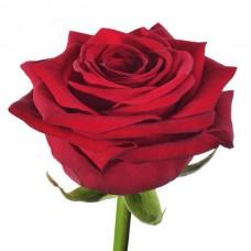 Роза Red Naomi 50cm
