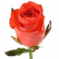 Роза Wow 50cm