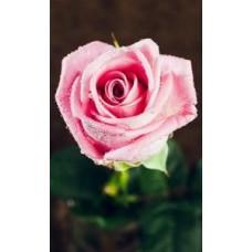 Роза Aqua 70cm