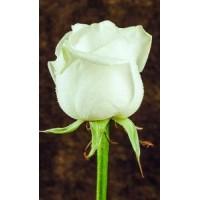 Роза Avalanche 70cm
