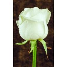 Роза Avalanche 50cm