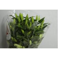 Лилия сибирия к/ц