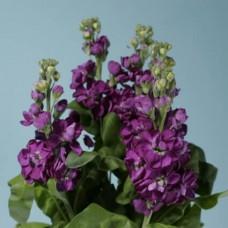 Маттиола (Стокс) фиолетовый